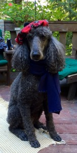 Xeno the Standard Poodle