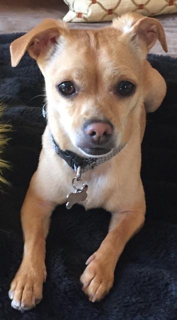 chiweenie spoiled dog designs blog