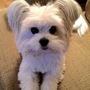 Mickey the Papillon Maltese Mix