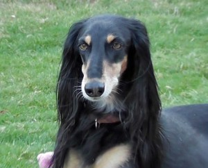 Rainey, the Feathered Saluki