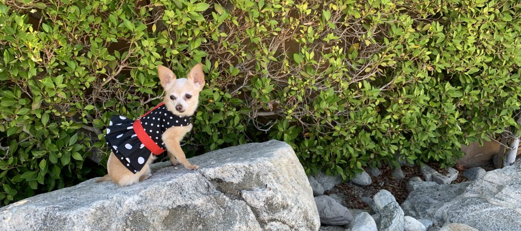 Bella in one of our Ruffled Harnesses by Spoiled Dog Designs. For homepage of New Website.