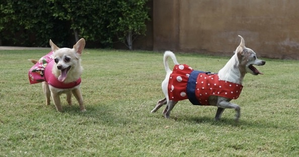 Bella and Toni running around and having fun in Ruffled Harnesses by Spoiled Dog Designs while modeling for the New Website